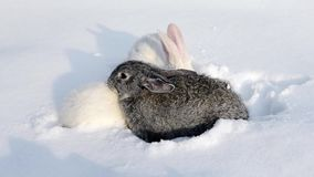 Two white and one gray rabbit walking on white snow. Grey and white bunny Rabbit is sitting quietly and sniffing in snow. Rabbit walks through the snow stock video