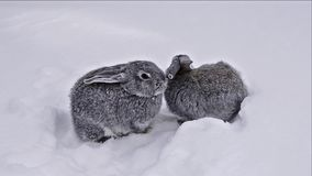 Gray rabbits walking on white snow. Grey and white bunny Rabbit is sitting quietly and sniffing in snow. Rabbit walks through the snow stock video footage