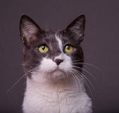 Grey and White Cat on Dark Background. Pretty grey and white cat on dark gray background Royalty Free Stock Image