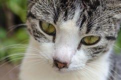 Grey And White Cat Eyes preto foto de stock royalty free