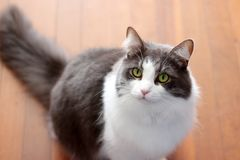 Grey and White Cat With Green Eyes Royalty Free Stock Image