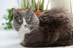 Grey white cat with green eyes Royalty Free Stock Photography
