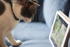 Grey and White Cat with iPad. This young, grey and white cat is watching bird videos on an iPad Royalty Free Stock Images