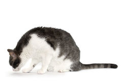Grey and white cat isolated on white. Curious grey and white cat sitting against white background Stock Images