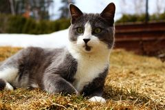 Grey and white cat laid on the grass. Outdoor in springtime Royalty Free Stock Photos