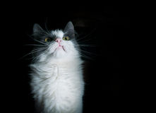 A grey and white cat looking in a bad mood. Royalty Free Stock Photo