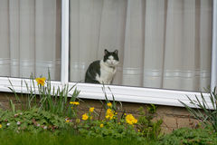 Grey and white cat looking out of window of house Stock Photo