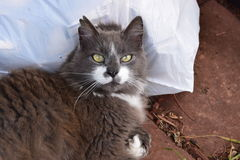 Grey and white cat. Resting on a bag Royalty Free Stock Photography