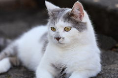 A grey white cat Royalty Free Stock Image