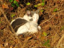Grey And White Cat Sleeping foto de archivo libre de regalías