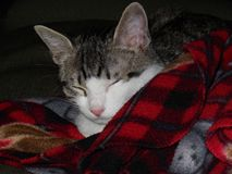 Cat Sleeping in Red Plaid Blanket Stock Photo