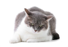 Grey and white cat in studio Royalty Free Stock Image