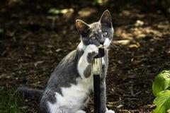 Grey/White Cat Stock Image