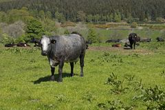Grey and white cow in a field royalty free stock photos