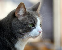 The grey and white cute cat close up portrait stock photos