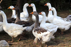 Grey and white domestic gooses on poultry farm Stock Image