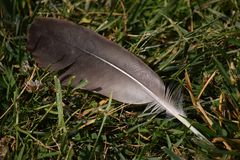 Grey and White  Duck Feather Stock Photography