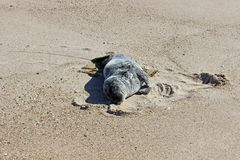 Grey and white harbor seal pup sunning on sandy coastal ocean beach royalty free stock images