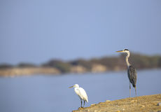 Grey and a white heron in the coast of Bahrain Stock Photo