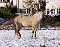 Grey and White Horse in the Snow Stock Photos