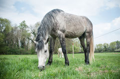 Grey and white Horses in a field Stock Photos