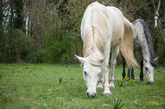 Grey and white Horses in a field Royalty Free Stock Photos