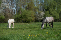 Grey and white Horses grazing grass Royalty Free Stock Image