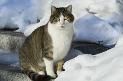 House Cat in Snow Royalty Free Stock Photo