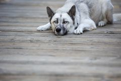 Husky dog laying outside with copyspace. Grey white husky dog laying on the ground outside with space for copy stock photo
