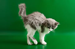 Grey and white kitten Royalty Free Stock Photography
