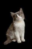Grey and white kitten Stock Photos