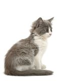 Grey and white kitten Royalty Free Stock Image