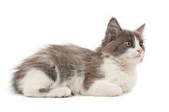 Grey and white kitten Stock Image