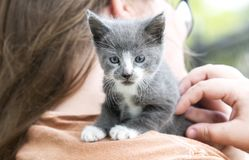 Grey and white kitten on girl`s shoulder, pet adoption photo. Six week old gray and white short hair kitten on teenage girl shoulder hugging. Pet adoption cat royalty free stock image