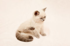 Grey and white kitten Stock Photography