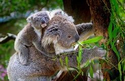 Grey and White Koala Bear Royalty Free Stock Photos