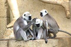 Grey and White Monkey Royalty Free Stock Photo