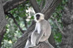 Grey and White Monkey on Tree Branch Royalty Free Stock Photos