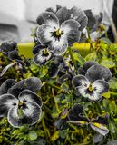 Grey and white Pansies Stock Photography
