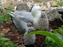 Grey and white ring-billed seagull sitting in her nest with 3 little baby birds. royalty free stock photography