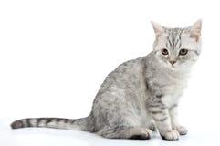 Grey white Scottish kitten posing Royalty Free Stock Image