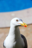 Grey and White Seagull. Standing by a swimming pool Royalty Free Stock Images
