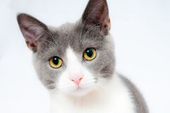 Grey and White Short Fur Cat Stock Photos