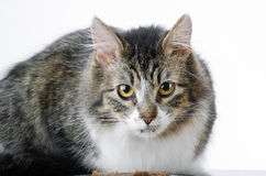 Grey and White Tabby Cat Laying on White Background Royalty Free Stock Image