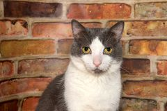 Grey and white tabby cat looking directly at viewer in front of brick wall. Portrait of a gray and white tabby cat sitting in front of a brick wall looking Stock Image