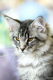 Grey-white tabby Maine Coon cat Stock Photography