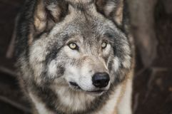 Grey and White Wolf Selective Focus Photography Royalty Free Stock Photos