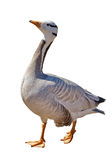 Grey wild goose isolated on white Royalty Free Stock Photo