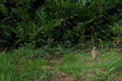 Grey wild rabbit in grass. Grey white rabbit in long grass, England Stock Image