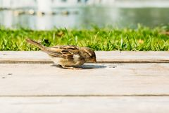Grey wild sparrow pecking Royalty Free Stock Photos